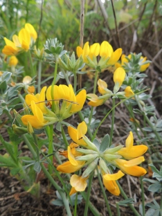 Southern Bird's Foot Trefoil