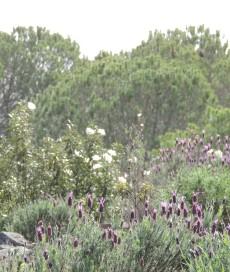 Cistus and Lavender
