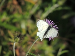 Small White - somewhat dishevelled!