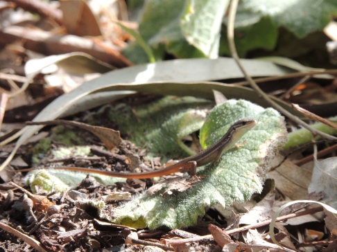 Lizard in Alcoutim