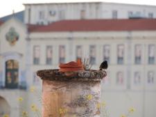 More birding from our terrace - Black Redstart