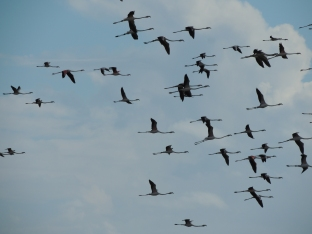 Olhao Flamingos