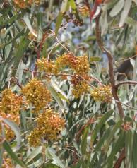 Eucalyptus - unsure exactly what!