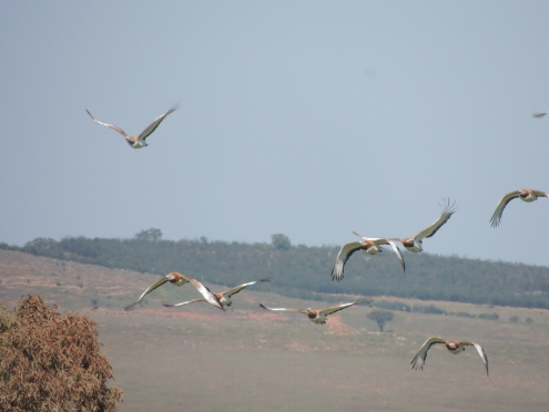 Great Bustards in flight