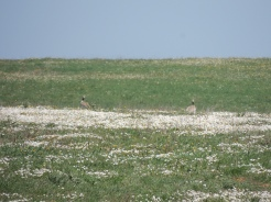 Little Bustards