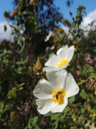 Sage Leaved Rock Rose