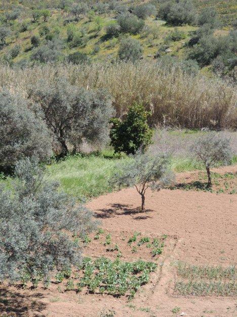 Typical Algarvian farming