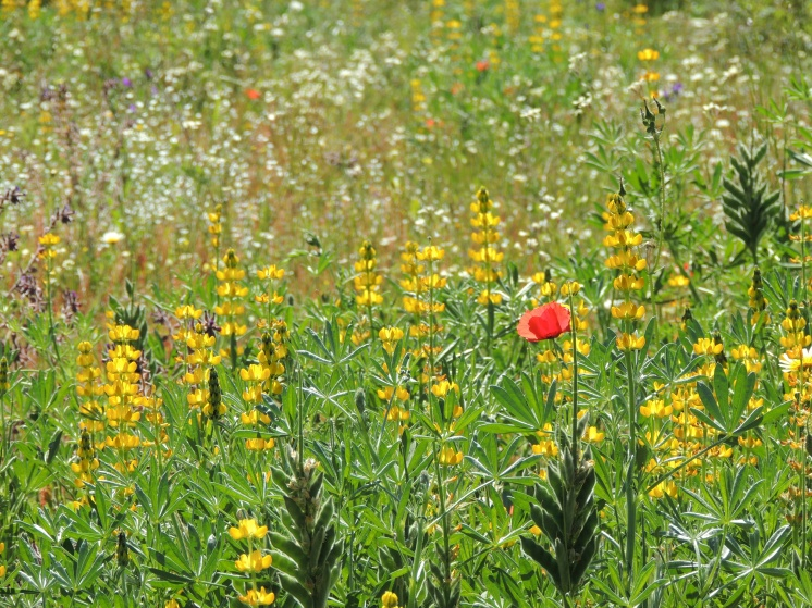 One red poppy amidst yellow lupins