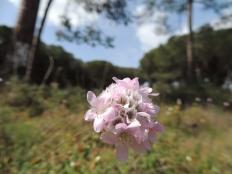 Allium roseum - I think