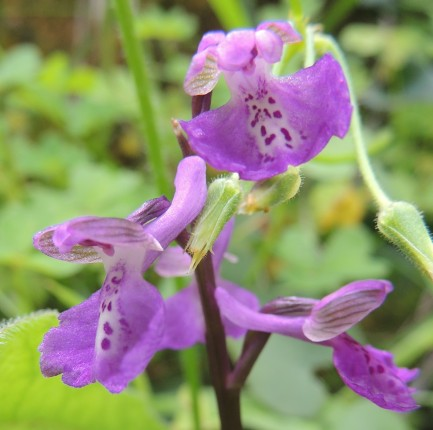 Close up of the Green-winged Orchid