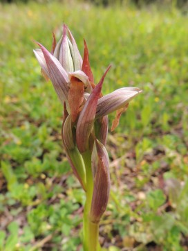 Either Long-lipped Orchid or the Tongue Orchid (Serapias)