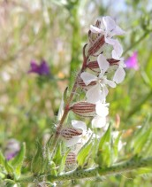 small flowered catchfly
