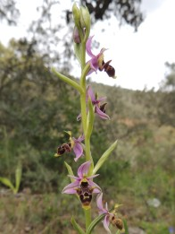 Woodcock Orchid