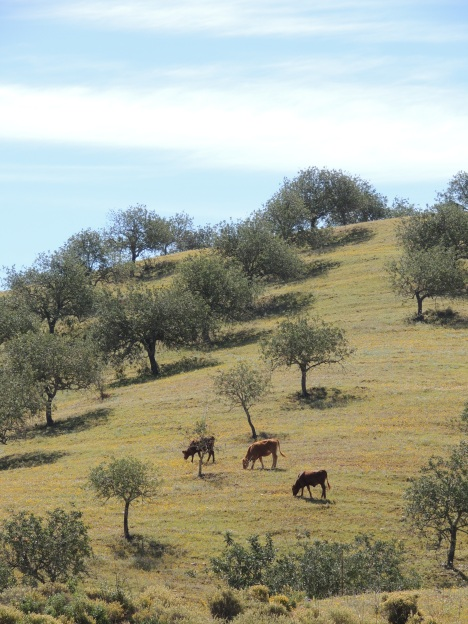 Cattle in the hills