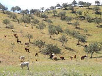 Cows in Caldeirinha