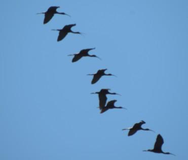Flight photography = blurred ibis