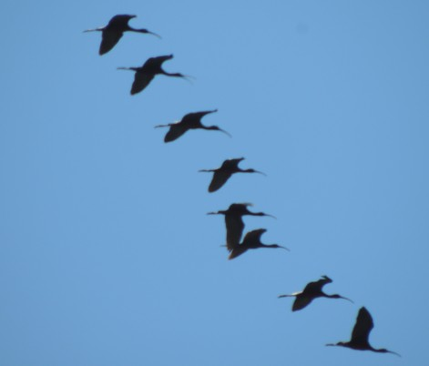 Flight photography = blurred ibis