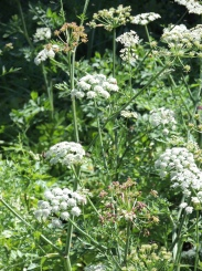 possibly a Daucus (carrot)