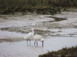 Egret following Spoonbill