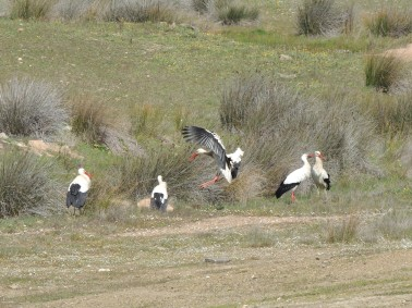 European White Storks