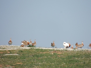 Great Bustard Courtship