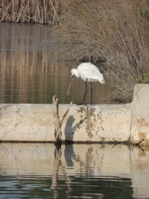 Spoonbill at Christmas