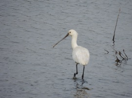 Spoonbill on a dreary day!