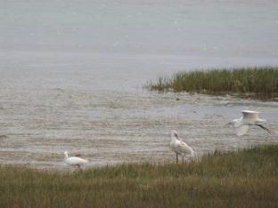 Spoonbill versus Egret