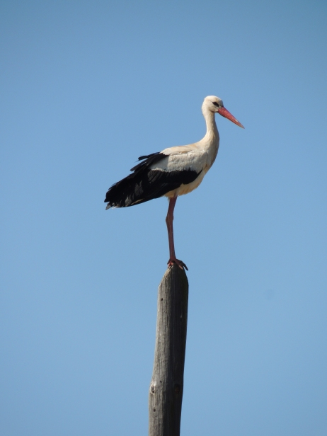Stork on a post!