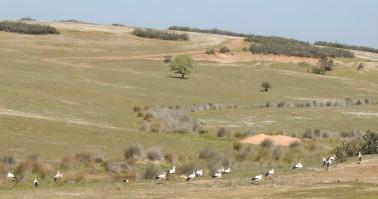 Storks on the plains