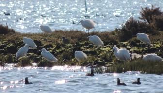 Egrets and Spoonbills