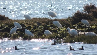 Egrets and Spoonbills