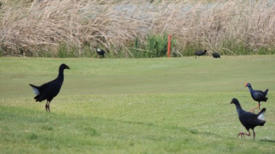 sultana-chickens-in-silhouette