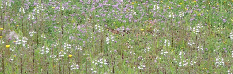 A field of parasites - Mediterranean Lineseed