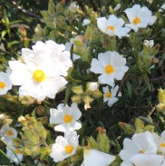 narrow-leaved-rock-rose
