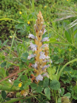 Nodding Broomrape (Phelipanche nana)