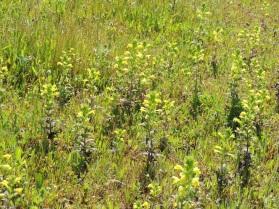 yellow-glandweed