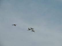 Spoonbills in the sky