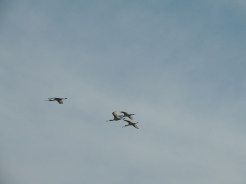 Spoonbills in the sky