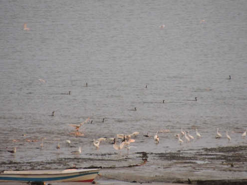 Little Egrets and Spoonbills in a line
