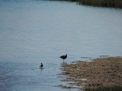 Curlew - I think