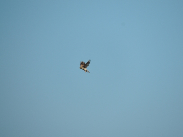 Kestrel mid air