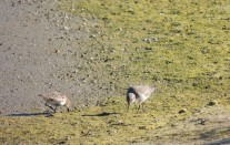 Waders in the mud