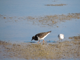 Turnstone with his Sanderling shadow