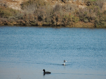 Not the best photo, but look at that Grebe's dinner!