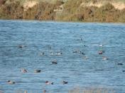 Ducks galore