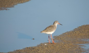 red-shank