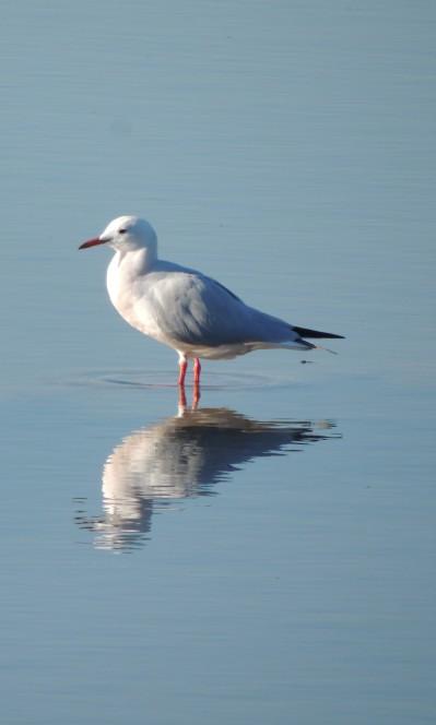 slender-beaked-gull