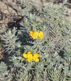 southern-bird-foot-trefoil