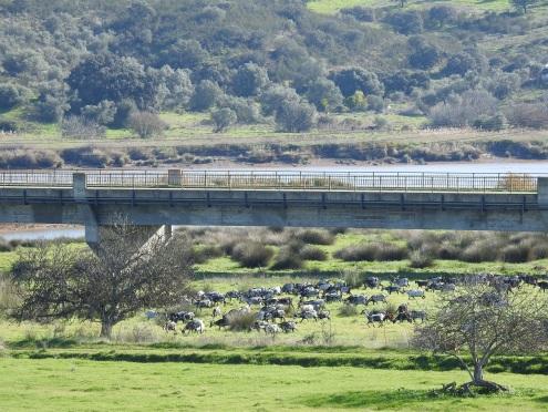 Billy Goat Gruff under the bridge!